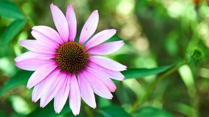 Nice big purple flower close up
