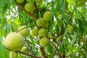 rohe Pfirsiche am Baum