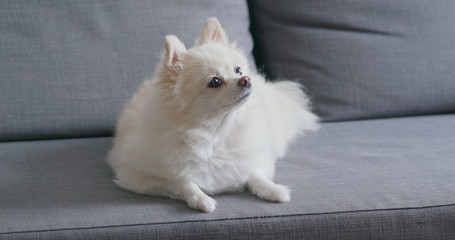 White pomeranian dog on sofa