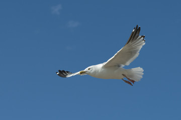Seagull flying in the sky, Lake of The Woods, Ontario, Canada