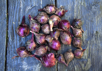natural food, red, pink  dirty onion, from the garden, on a wooden table