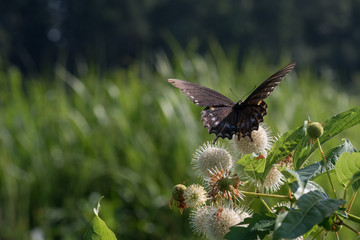 Butterfly on Buttonbush Blooms