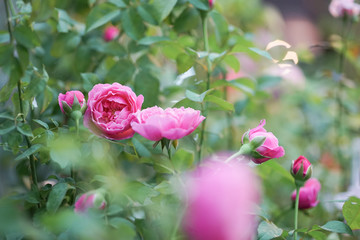 Pink roses. A soft focus of a beautiful pink Soeur Emmanuelle rose (or pink hybrid tea rose) blooming in the flower garden, in the early morning.