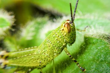 green grasshopper on grass cane