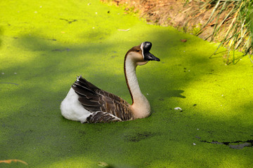 Portrait of chinese goose swimming in the green algae pond