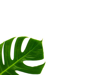 Monstera miltiple leaves isolated on white background. flat lay design