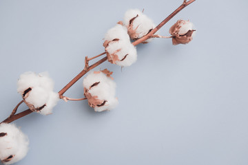 Cotton flower brunch on pastel pale blue paper background, overhead. Minimalism flat lay composition for bloggers, artists, social media,  magazines. Copyspace, horizontal