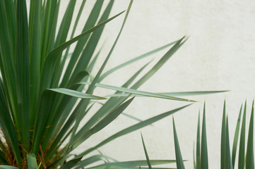 Southern palm or dracaena against a white textured wall. Southern vegetation, botany