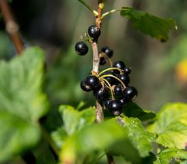 blackcurrants on a bush