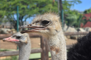 An Ostrich Making Noise with His Friends