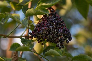 kiść owoców czarnego bzu