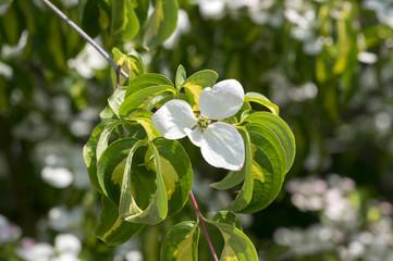 Search photos kousa dogwood cornus kousa ornamental and beautiful flowering shrub bright white flowers with four petals on blooming mightylinksfo