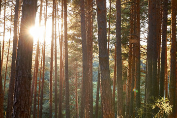 Pine woods forest background