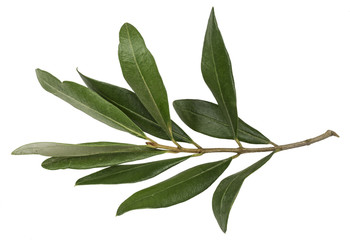 An olive branch with leaves on white background isolated