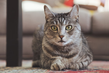 jeune chat tigré gris tabby femelle yeux verts