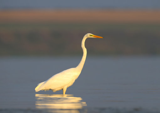 Close up photo of a great white heron stands in the water in soft morning light
