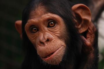 Portrait chimpanzee