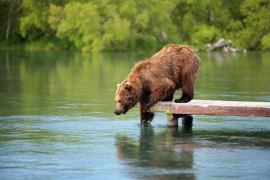 bear is fishing on the lake