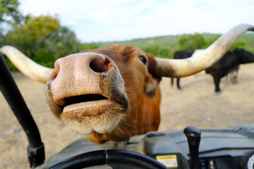 Wall Mural - Cute Texas Longhorn cow looking funny with mouth open begging on farm, cattle in background.