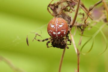 Araneus quadratus, the four-spot orb-weaver, is a common orb-weaver spider. Spider crawls along the blade of grass.