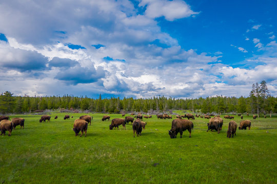 Herd of bison grazing on a field with mountains and trees in the background