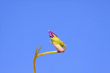 viola philippica flowers