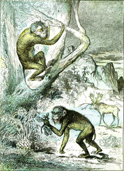 The leaf monkeys in the Miocene period, vintage engraving.