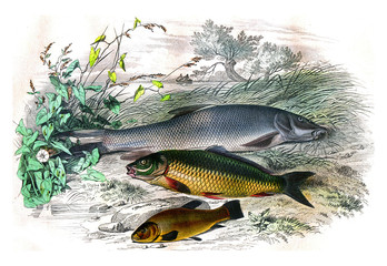 The barbillon, The carp, the tench, vintage engraving.