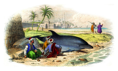 The common dolphin, vintage engraving.