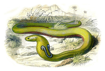 The snake with glasses, vintage engraving.