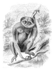 Agile Gibbon, vintage engraving.