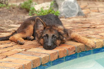 Closeup view of a German Sheperd puppy laying by the pool.