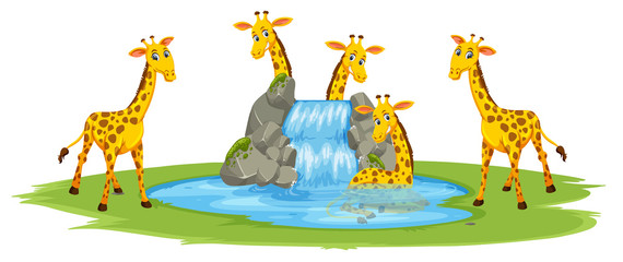 Giraffe at the water