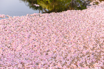 background of  Tabebuia rosea is a Pink Flower neotropical tree