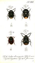 Illustration of a beetle.