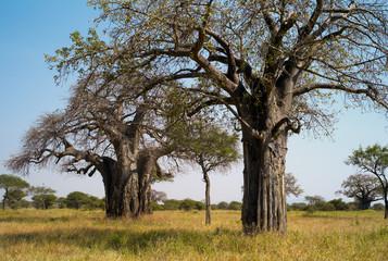 Baobab Trees in the Savannah,  Tarangire National Park, Tanzania