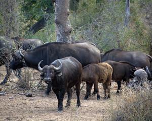 Printed roller blinds Buffalo Herd of African Buffalo