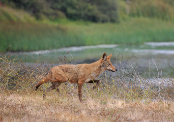 Fox trotting through dry grass in front of lagoon at midday