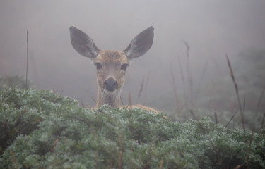 Young wild deer looking over green bushes in thick fog