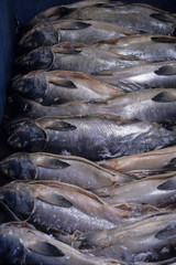 日本の伝統食品の鮭の酒びたしの製造風景、鮭の塩引き