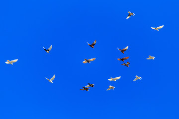 A flock of pigeons in flight against the blue sky