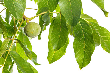 Walnuts fruits green tree branch isolated on a white background