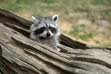 Portrait of lotor common raccoon. Tree hiding place of raccoon. Look out of hiding.
