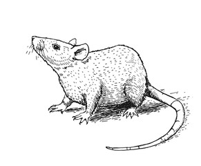 Illustration with a mouse or rat. Ink drawing. Can be printed on a t-shirt, postcards, tattoo, books images, etc.