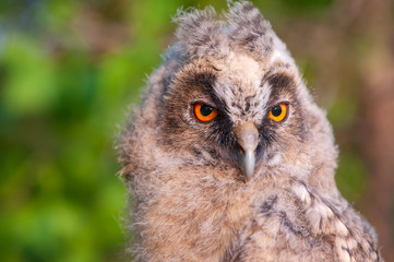 Young long-eared owl (Asio otus). Close up