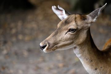 Portrait of fallow deer (dama, dama) in the forest