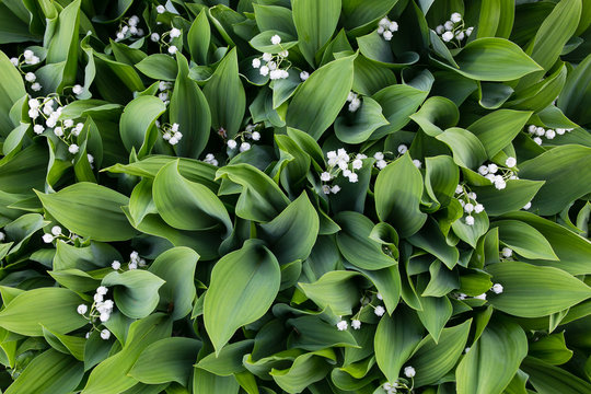 The lily of the valley is a top view