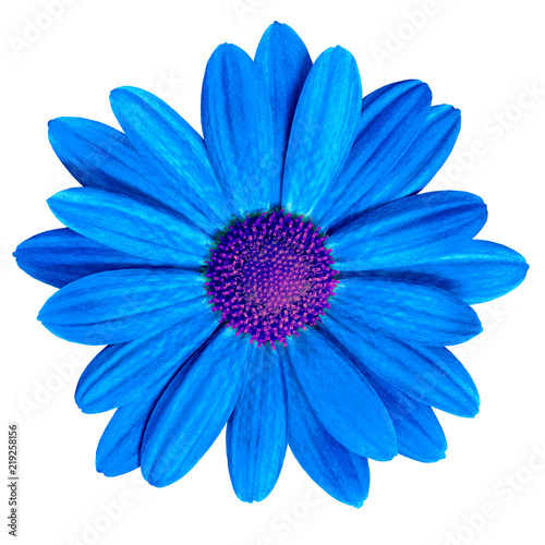 Flower Royal Blue Purple Daisy Isolated On White Background Close Up Element Of