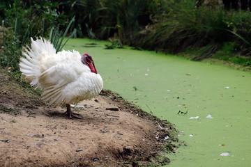 Full body of wild white male turkey (Meleagris gallopavo)
