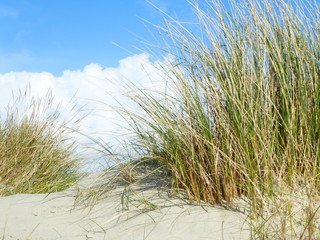 Fototapeta grasses on sand dune with billowing clouds behind